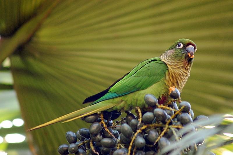 Barna fülű papagáj
