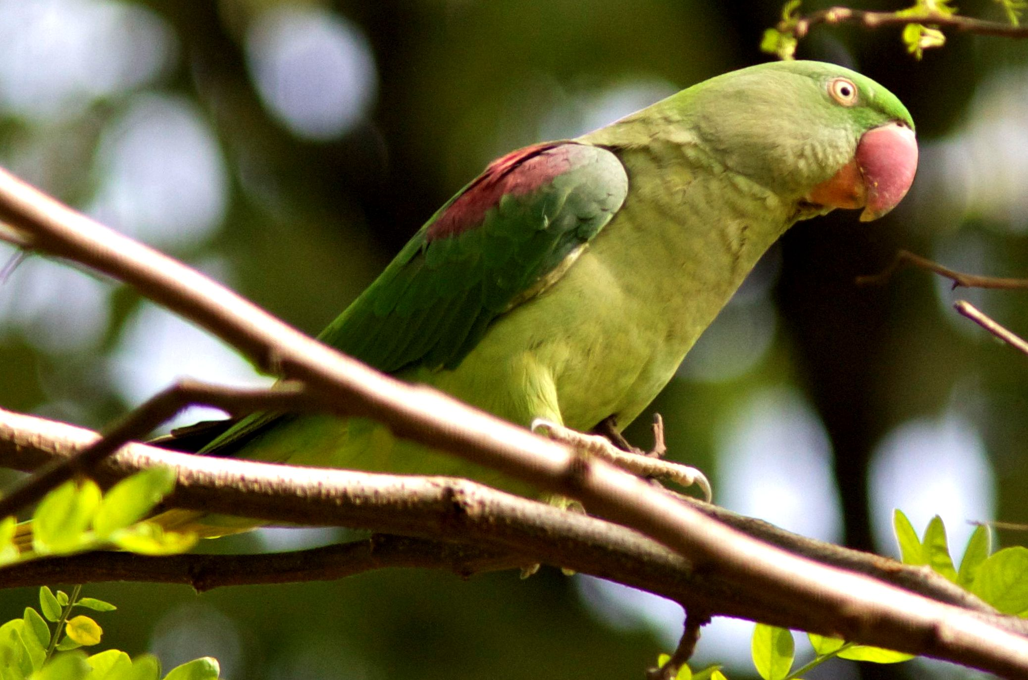 Nagy Sándor papagáj