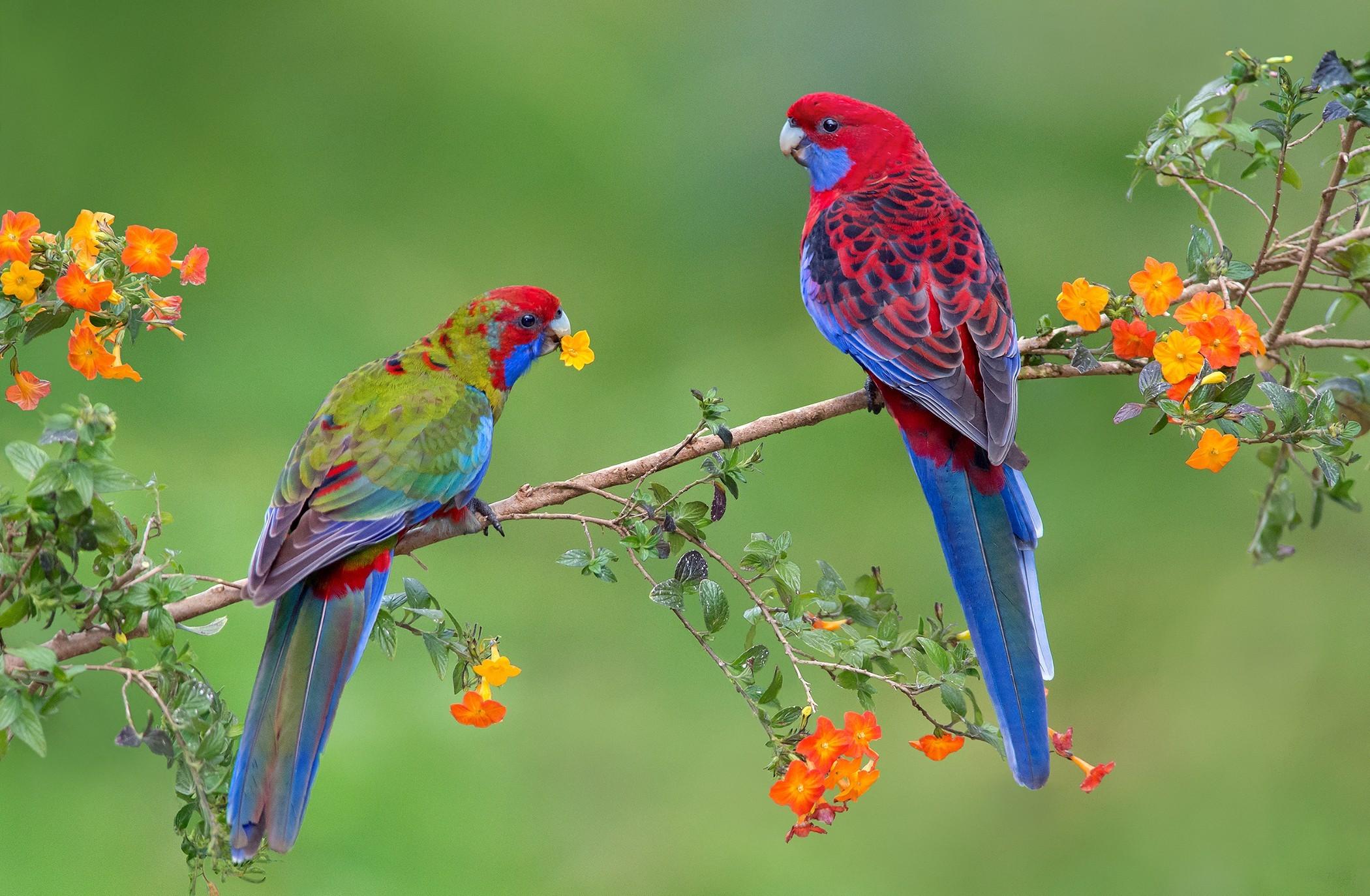 Rozella papagáj